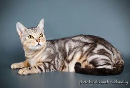 У нас подрастают котята от Саши и Парисы