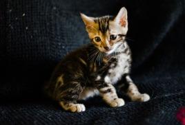 Открыта продажа котят