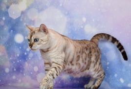 На выставке Golden Cats в Одессе у нас состоялась фотосессия наших хвостиков.