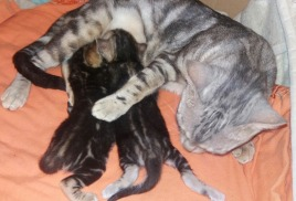 Наша Париса стала мамой ! Она родила очаровательных котят.